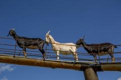 Chèvres dans le ciel Photo stock