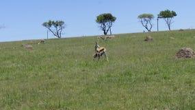 Chèvres dans le domaine, derrière les chèvres les arbres verts Photos stock