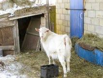 Chèvres dans le ménage Mini ferme de chèvre Images stock