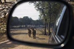 Chèvres dans le miroir de vue arrière Image libre de droits