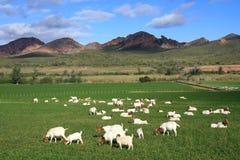Chèvres dans le pâturage Image libre de droits