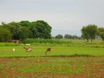 Chèvres dans le pré Photos stock