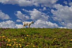 Chèvres dans le pré Photographie stock libre de droits