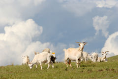Chèvres dans le pré Image stock