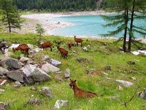 Chèvres dans les montagnes Photos libres de droits