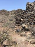 Chèvres dans les roches Photo stock