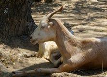 Chèvres dans Les Saintes, Guadeloupe Photo libre de droits