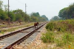 Chèvres dans rural. Images libres de droits