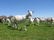 Chèvres dans un domaine Image libre de droits