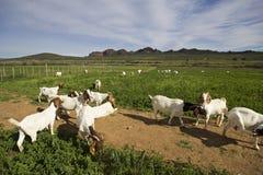 Chèvres dans un domaine vert Photographie stock libre de droits