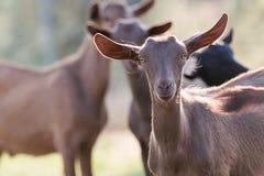 Chèvres dans une ferme Images stock