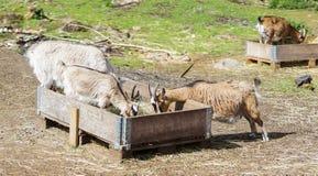 Chèvres dans une grange Images stock