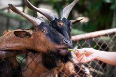 Chèvres de alimentation avec les feuilles fraîches Photo libre de droits