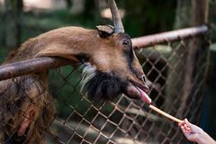 Chèvres de alimentation avec les feuilles fraîches Photo stock