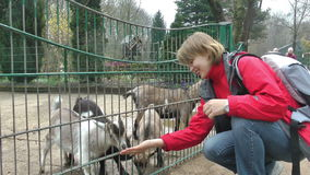 Chèvres de alimentation de bébé de jeune femme, mouvement lent banque de vidéos