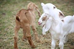 Chèvres de bébé Image stock