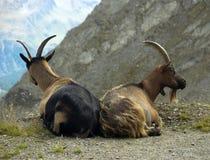 chèvres de billy Photos libres de droits