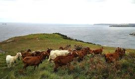 Chèvres de bord de mer Photo libre de droits