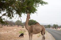Chèvres de Brown s'élevant dans des arbres d'argan pour manger le Maroc Essaouira Image stock