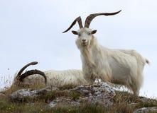 Chèvres de cachemire Image libre de droits