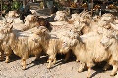Chèvres de cachemire images stock