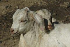 Chèvres de caresse de bébé Images libres de droits