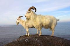 Chèvres de ferme Photo libre de droits