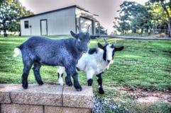 Chèvres de ferme de Hank et de Lenny photo libre de droits
