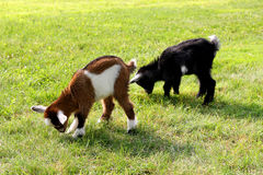 Chèvres de garderie d'enfants mangeant l'herbe Image stock