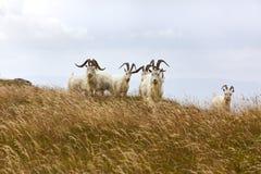 Chèvres de la Kashmir, Pays de Galles du nord Images libres de droits
