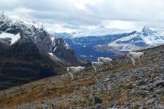 Chèvres de montagne à Kananaskis, Rocky Mountains canadien Photo libre de droits