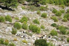Chèvres de montagne à la montagne de Srd près de Dubrovnik, Croatie Images libres de droits