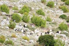 Chèvres de montagne à la montagne de Srd près de Dubrovnik, Croatie Images stock