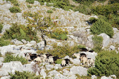 Chèvres de montagne à la montagne de Srd près de Dubrovnik, Croatie Image libre de droits