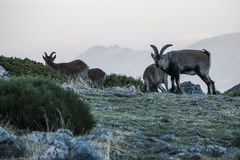Chèvres de montagne à Navacerrada, Madrid, Espagne photographie stock libre de droits