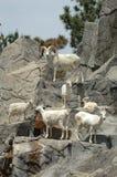 Chèvres de montagne 1 Photo libre de droits