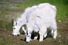 Chèvres de montagne Photo stock