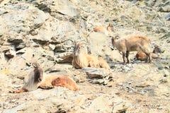 Chèvres de montagne Photos libres de droits