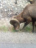 Chèvres de montagne Images libres de droits