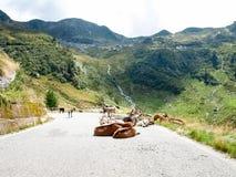 Chèvres de montagne Image stock