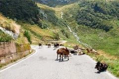 Chèvres de montagne Photos stock