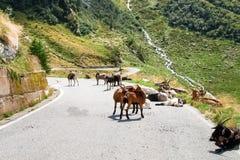 Chèvres de montagne Photographie stock libre de droits