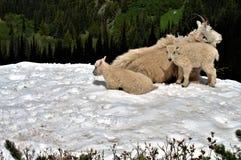 Chèvres de montagne Photographie stock