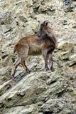 Chèvres de montagne, animaux amicaux au zoo de Prague Image stock