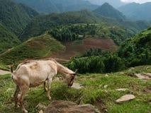 Chèvres de montagne au-dessus des terrasses de riz Photographie stock