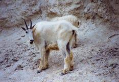 Chèvres de montagne chez Lilcks minéral canadien Photo libre de droits