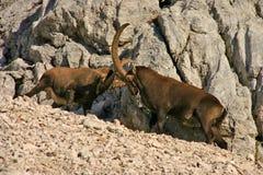 Chèvres de montagne combattant Triglav NP Photos libres de droits