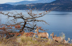 Chèvres de montagne d'Okanagan Photos libres de droits
