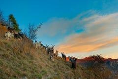 Chèvres de montagne dans la dernière lumière du jour Photographie stock