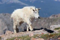 Chèvres de montagne dans le Colorado Rocky Mountains Image stock